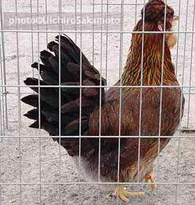 http://feathersite.com/Poultry/CGD/Jito/JitokkoH.JPEG