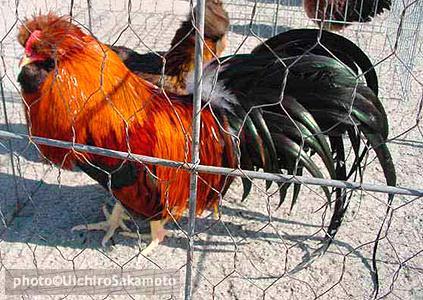 http://feathersite.com/Poultry/CGD/Jito/JitokkoM2.JPEG