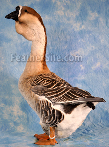 http://feathersite.com/Poultry/Geese/AfrGdr.JPEG