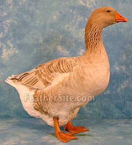 http://feathersite.com/Poultry/Geese/AmericanBuffG.JPEG