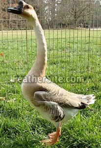 http://feathersite.com/Poultry/Geese/ChineseGoose.JPEG