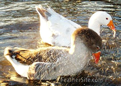 http://feathersite.com/Poultry/Geese/PilgrimPrGermany.JPEG