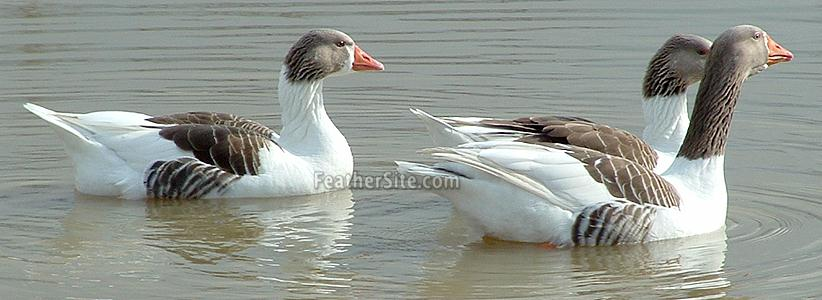 http://feathersite.com/Poultry/Geese/PomsOnWater.JPEG