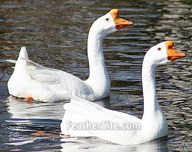 http://feathersite.com/Poultry/Geese/WhChinasOnPond.JPEG